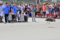 Turtle and Pelican release in Ponce Inlet 11-Apr-15